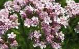 Валериана лекарственная — лечебные свойства, противопоказания