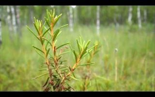 Багульник болотный — описание, применение и противопоказания