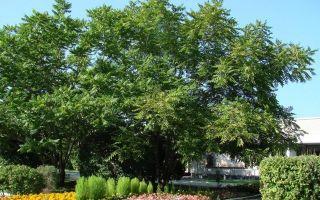 Маньчжурский орех: описание растения, лечебные свойства, применение и противопоказания