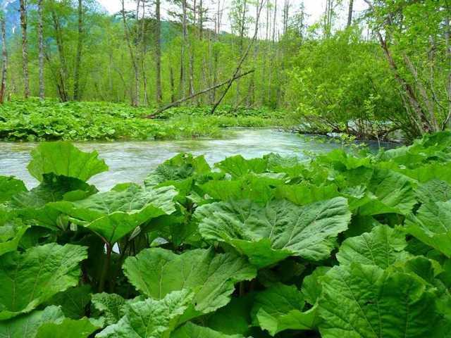 Белокопытник — лечебные свойства и противопоказания, описание