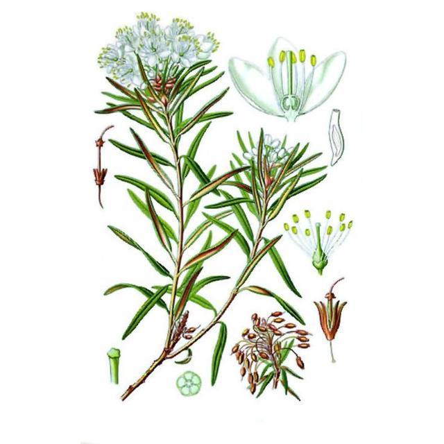 Багульник болотный - описание, применение и противопоказания