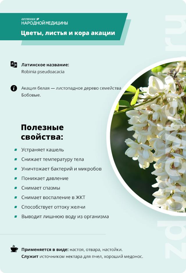 Акация белая — лечебные свойства и противопоказания, применение