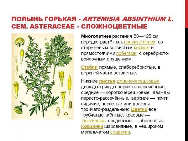 Трава полынь — лечебные свойства, противопоказания, как выглядит