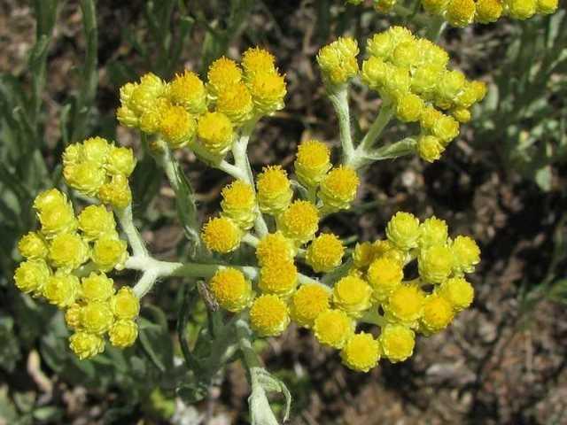 Бессмертник — лечебные свойства травы и противопоказания