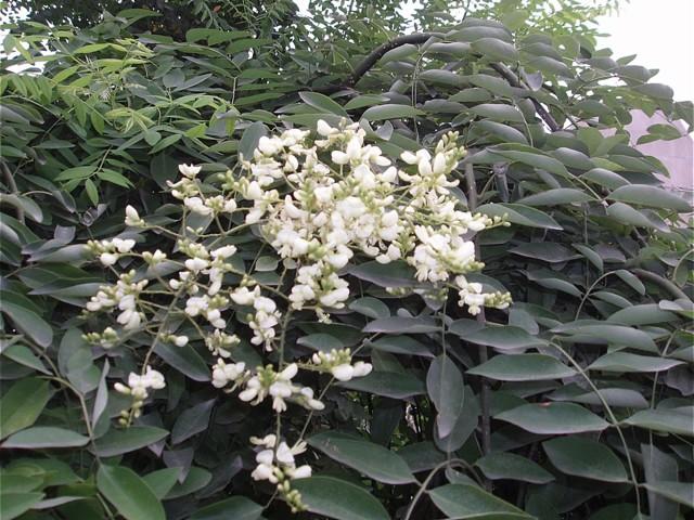 Софора японская — лечебные свойства и противопоказания