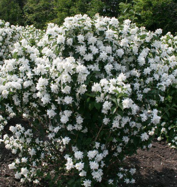 Растение жасмин — состав, свойства, применение, противопоказания