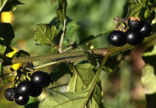 Паслен черный — описание, фото, польза, вред, свойства съедобного