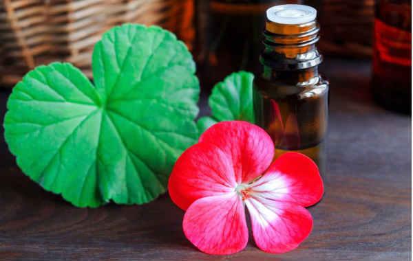 Цветок герань — польза, вред, свойства| Здоровье и красота