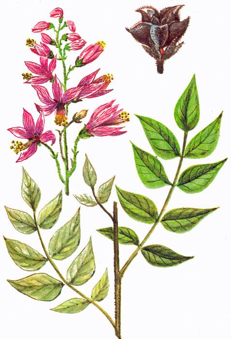 Ясенец — польза, лечебные свойства и противопоказания