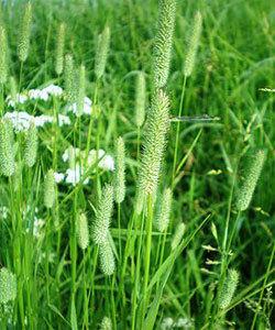 Тимофеевка луговая — лечебные свойства, противопоказания