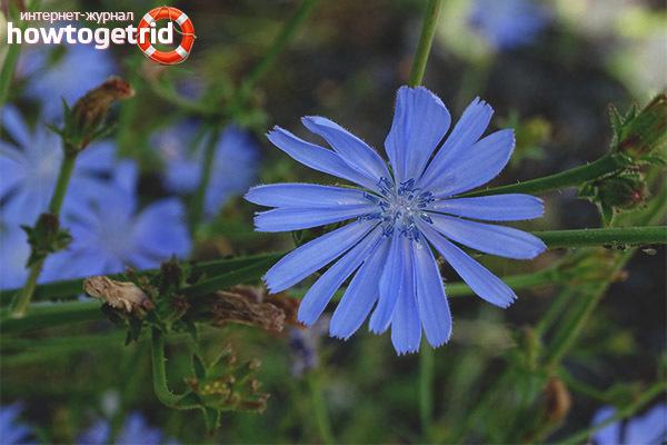 Растение цикорий — свойства, противопоказания, как использовать