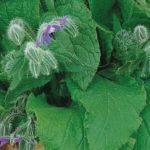 Огуречная трава — полезные свойства, противопоказания