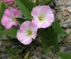 Вьюнок полевой — описание, лечебные свойства, противопоказания