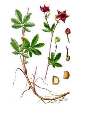 Сабельник болотный — полезные свойства, противопоказания