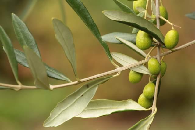 Лист оливы: полезные свойства и вред, как применять