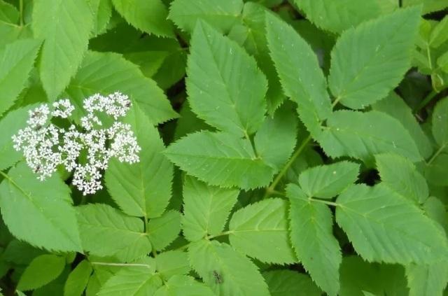 Трава сныть — лечебные свойства, противопоказания, рецепты