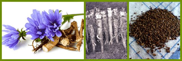 Цикорий растворимый — польза и вред, состав и свойства