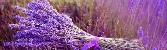 Лаванда — свойства, применение, противопоказания