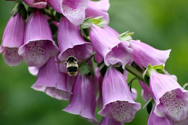 Наперстянка пурпурная — описание, применение, противопоказания
