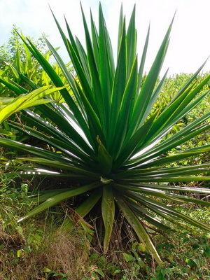 Агава — описание, фото, лечебные свойства растения