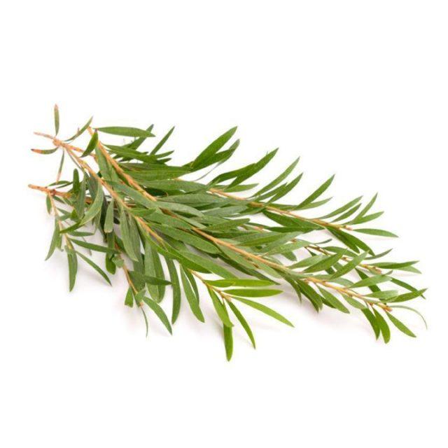 Масло чайного дерева от прыщей — применение, помогает ли