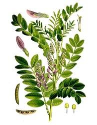 Солодка: инструкция по применению корня и сиропа от кашля и при аллергии, фото растения