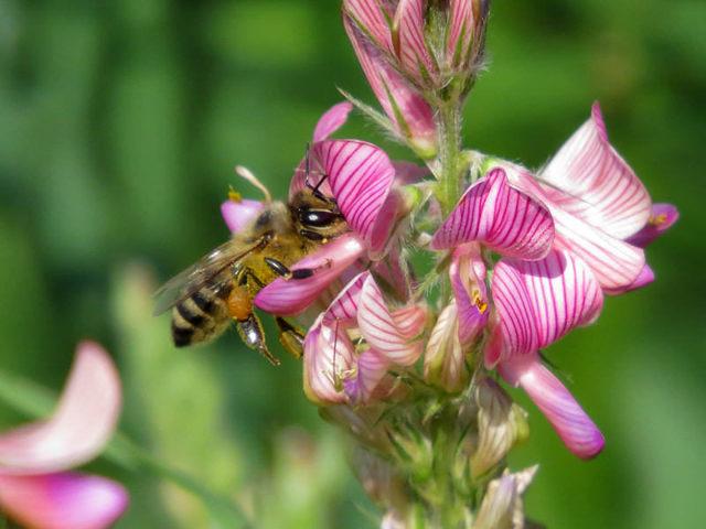 Эспарцетовый мед: польза и вред, противопоказания к применению