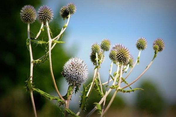 Мордовник — лечебные свойства, противопоказания, применение