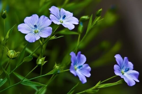 Семя льна — состав, лечебные свойства и противопоказания