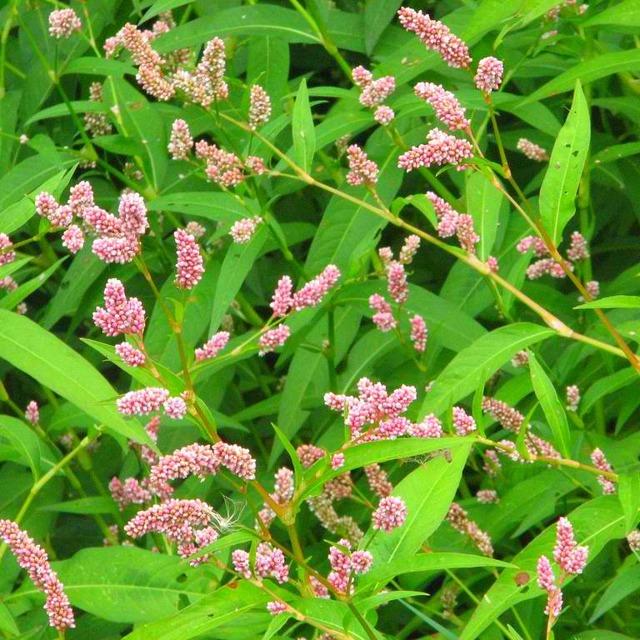 Спорыш — лечебные свойства и противопоказания травы