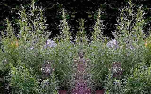 Тархун трава: полезные свойства и противопоказания