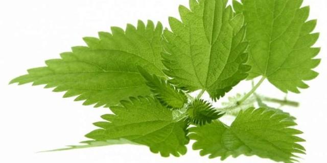 Крапива — лечебные свойства, противопоказания, применение