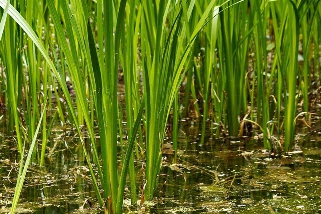 Корень аира болотного — лечебные свойства, противопоказания