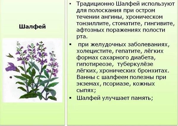 Шалфей лекарственный: полезные свойства и противопоказания