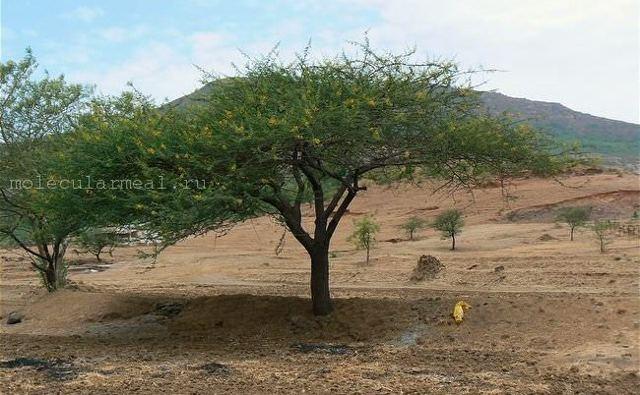 Гуммиарабик — польза и вред смолы сеальской акации