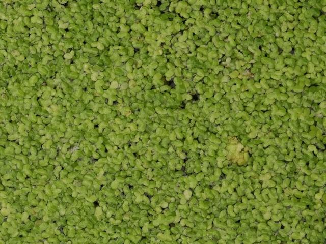 Ряска — лечебные свойства ипротивопоказания, применение