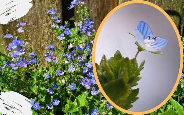Вероника лекарственная — полезные свойства, противопоказания