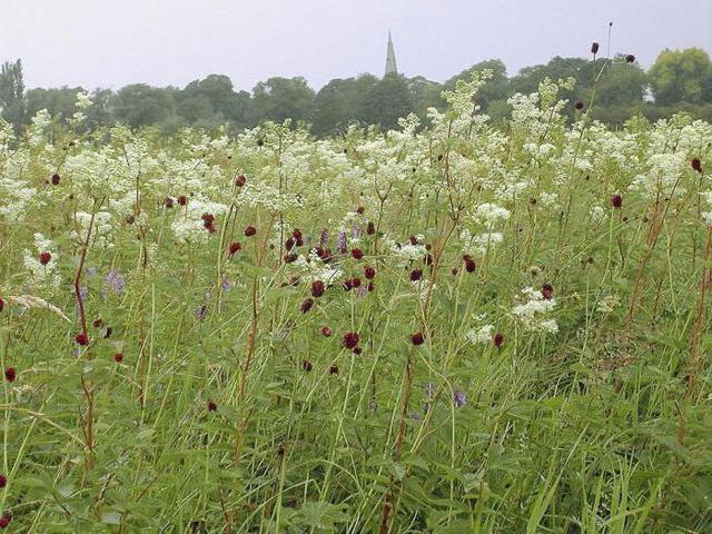 Трава таволга — лечебные свойства, противопоказания, применение