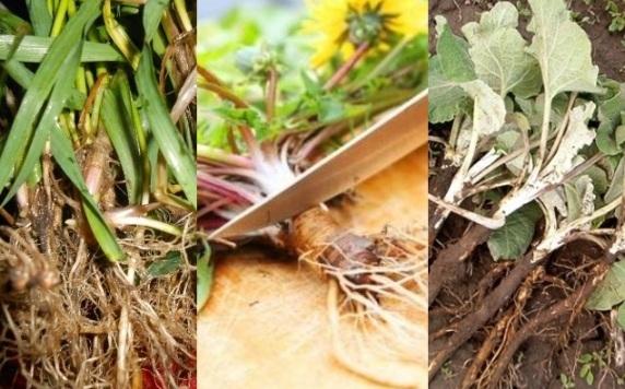 Пырей ползучий – лечебные свойства, рецепты, противопоказания