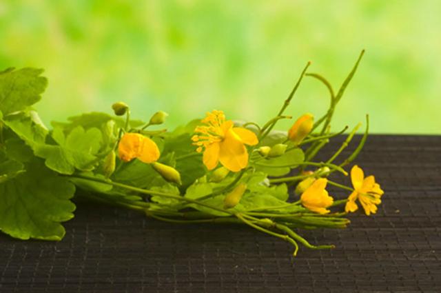 Чистотел — полезные лечебные свойства и противопоказания