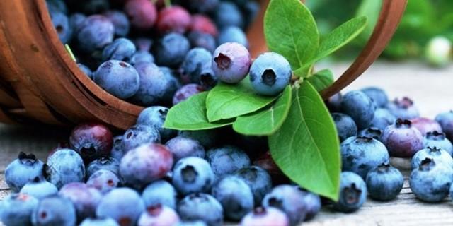 Черника — полезные свойства и противопоказания листьев и ягод