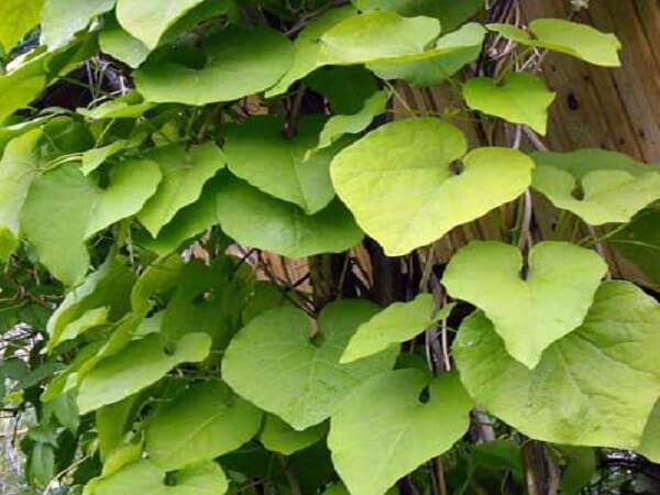 Кирказон — лечебные свойства, описание растения и применение