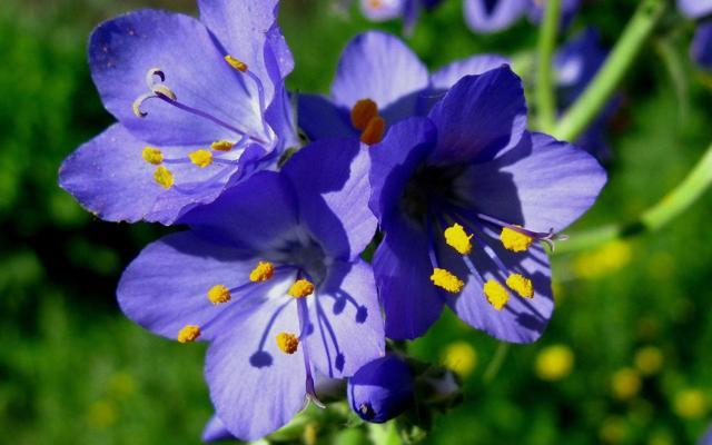 Синюха голубая — лечебные свойства, противопоказания