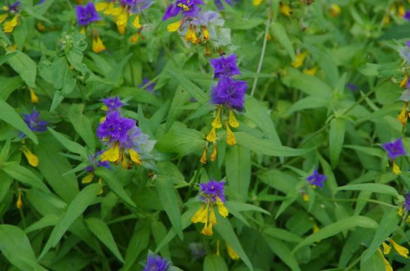 Иван-да-марья: фото цветка с описанием, лечебные свойства