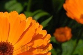 Календула — свойства и противопоказания, применение настойки