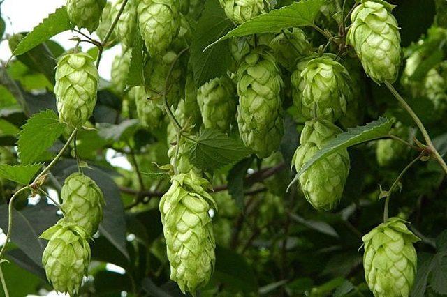 Растение хмель — применение, свойства, польза, вред