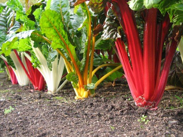 Мангольд — что это за растение, польза, вред, рецепты
