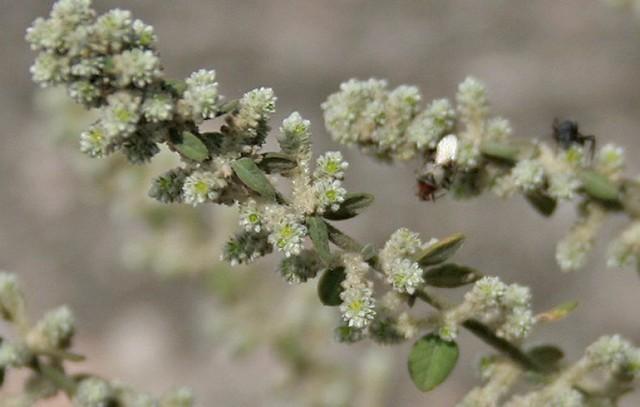 Эрва шерстистая — лечебные свойства, противопоказания
