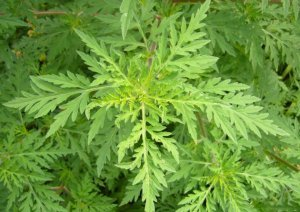 Амброзия — описание растения, полезные свойства, вред цветущей