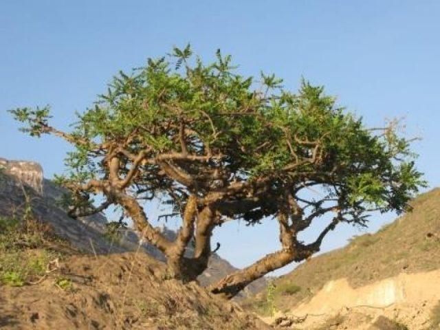 Ладан: польза, лечебные свойства и противопоказания